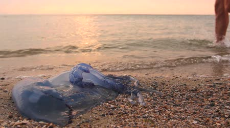 ısırgan otu : Tourist is passing by carcass of dead huge blue jellyfish, walking barefoot through shallow sea water.