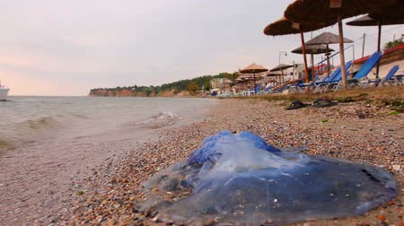 ısırgan otu : Carcass of dead huge blue jellyfish is washed up by the sea on empty public sandy beach. Photo - JPEG video codec