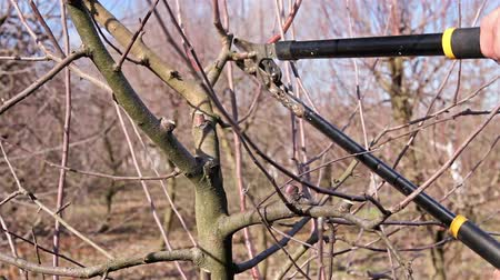 pigwa : Farmer is pruning branches of fruit trees in orchard using long loppers at early springtime. H.264 video codec