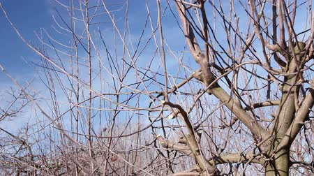 jardinero : Farmer is pruning branches of fruit trees in orchard using long loppers at early springtime. Photo - JPEG video codec