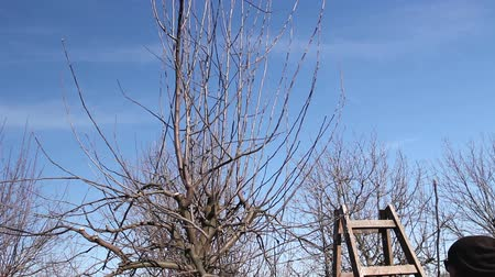 klatka schodowa : Farmer is pruning branches of fruit trees in orchard using long loppers at early springtime day climbed on ladders.  Photo - JPEG video codec