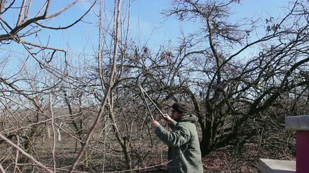 makas : Farmer is pruning branches of fruit trees in orchard using long loppers at early springtime. Photo - JPEG video codec