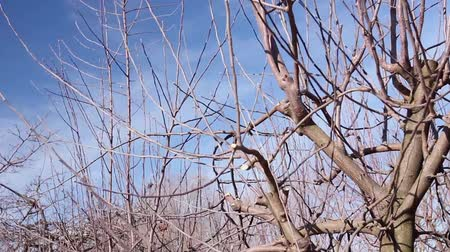 morele : Farmer is pruning branches of fruit trees in orchard using long loppers at early springtime. H.264 video codec