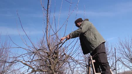 фермеры : Farmer is pruning branches of fruit trees in orchard using loppers at early springtime day using ladders. H.264 video codec