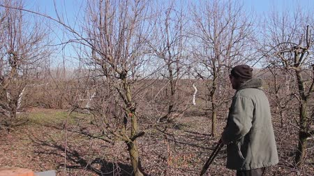 sıkıcı iş : Farmer is pruning branches of fruit trees in orchard using long loppers at early springtime. H.264 video codec