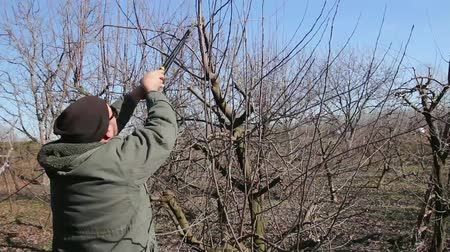 kertészet : Farmer is pruning branches of fruit trees in orchard using long loppers at early springtime. H.264 video codec