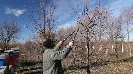 jardinero : Farmer is pruning branches of fruit trees in orchard using long loppers at early springtime. H.264 video codec