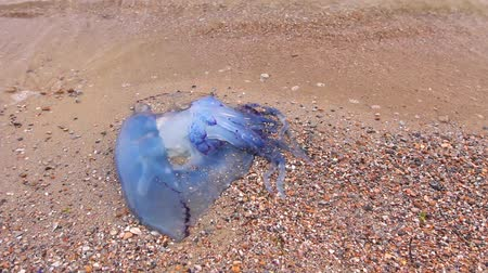 tropikal iklim : Big, blue, dead, jellyfish in shallow sea water. Carcass of dead huge blue jellyfish is washed up by the sea on sandy beach. H.264 video codec