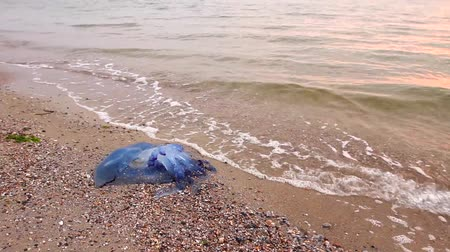 ısırgan otu : Big, blue, dead, jellyfish in shallow sea water. Morning sunlight over carcass of dead huge blue jellyfish is washed up by the sea on sandy beach. H.264 video codec
