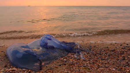 ısırgan otu : Big, blue, dead, jellyfish in shallow sea water. Morning sunlight over carcass of dead huge blue jellyfish is washed up by the sea on sandy beach.H.264 video codec Stok Video