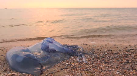 ısırgan otu : Mans legs are passing by dead, jellyfish in shallow sea water. Tourist is passing by carcass of dead huge blue jellyfish, walking barefoot through shallow sea water. H.264 video codec
