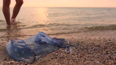 saltwater : Man is with hand fingers is touching carcass of dead huge blue jellyfish washed up by the sea on sandy beach. H.264 video codec Stock Footage