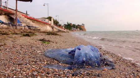 ısırgan otu : Big, blue, dead, jellyfish in shallow sea water. Carcass of dead huge blue jellyfish is washed up by the sea on empty public sandy beach.H.264 video codec