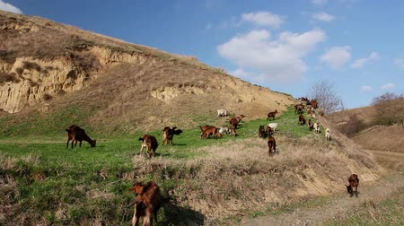 beran : Goats are grazing grass, on a pasture, meadow over hill. Herd of domestic goats are grazing grass at sunny green landscape. Photo - JPEG video codec Dostupné videozáznamy