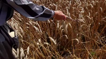 spikes : Grandma is caressing dry wheat ears with sickle.  Granny is holding reaping hook, sickle shes passing gently over mature wheat. H.264 video codec Stock Footage