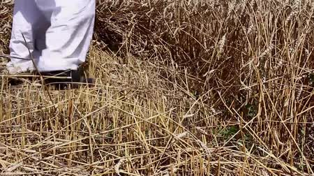 reaping : Farmer is cutting wheat. Farmer is reaping wheat manually with a scythe in the traditional rural way. H.264 video codec Stock Footage