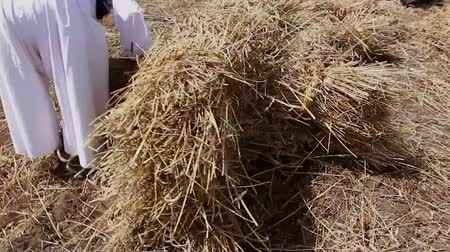 hay pile : Muzlja, Vojvodina, Serbia - July 05, 2014: XXXI Traditionally wheat harvest: Farmer is collecting small sheaves of fresh mowed wheat to make a bigger pile.  H.264 video codec