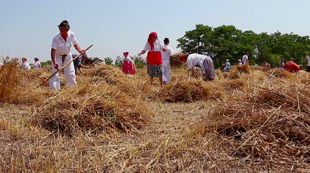 verim : Muzlja, Vojvodina, Serbia - July 06, 2013: XXX Traditionally wheat harvest. Group of people are reaping wheat manually in a traditional rural way. H.264 video codec