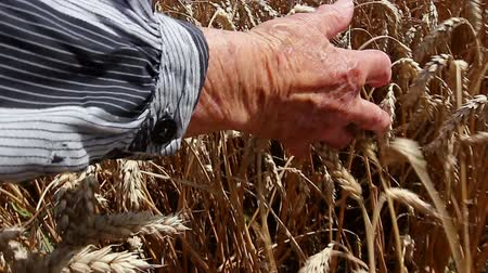 влажность : Grandma is caressing dry wheat ears. Granny is passing with her palm gently over, through mature wheat. Photo - JPEG video codec