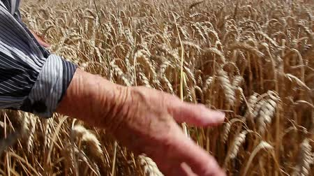 verim : Grandma is caressing dry wheat ears. Granny is passing with her palm gently over, through mature wheat. Photo - JPEG video codec