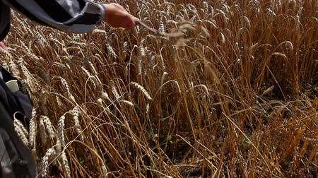 reaping : Grandma is caressing dry wheat ears with sickle.  Granny is holding reaping hook, sickle shes passing gently over mature wheat. Photo - JPEG video codec