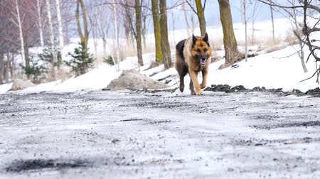 A dog walks along a gravel driveway and chain link fence in the country. Стоковые видеозаписи