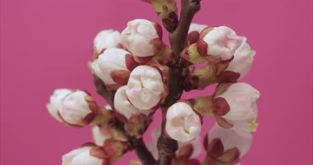 meruňka : Apricot tree blossoming on pink background timelapse