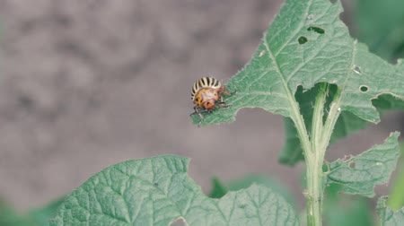 çiftlik hayvan : Colorado potato beetle eats a leaf of a potato plant FullHD Stok Video