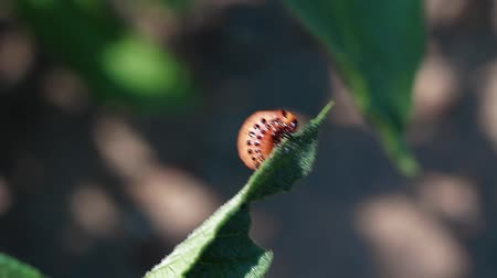 invasive : Colorado potato beetle eats a leaf of a potato plant FullHD Stock Footage