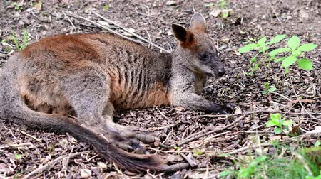 wallaby : Yellow-footed Rock-wallaby. Geographic Range: southern and central Australia.