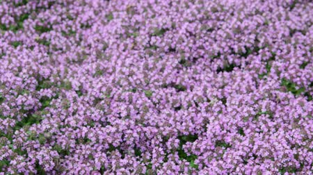 perennials : View of flowers background in wind. Violet flowers background. Closeup. Low DOF Stock Footage