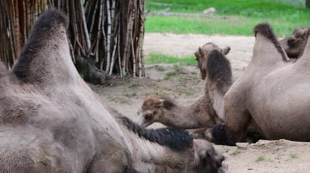 bactrianus : Bactrian Camel. Geographic Range: Its population of two million exists mainly in the domesticated form, wild camels live only in Gobi and Gashun Gobi deserts of northwest China and Mongolia