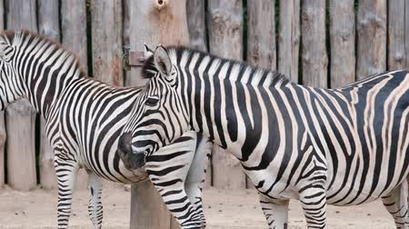 subspecies : Chapmans Zebra. Geographic Range: all habitats in Africa with the exception of rain forests, deserts, and dune forests from north-east South Africa, north to Zimbabwe, west into Botswana, the Caprivi Strip in Namibia.