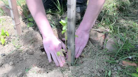 takes : Planting of tomato. Gardener planting tomato. Young plant of tomato in the hand of farmer