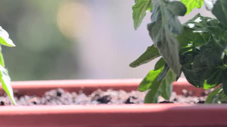 vernal : Dwarf tomatoes in window box. Tomatoes on widowsill Stock Footage