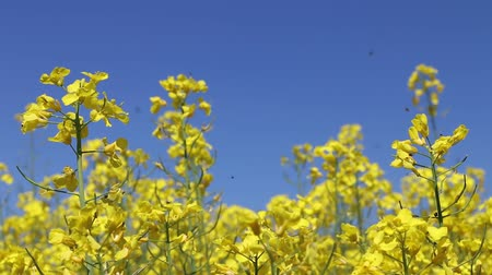 polinização : Canola field insect pollinated. Beautiful yellow flower