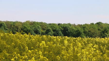 polinização : Insect pollinated canola field. Beautiful yellow flower forest and blue sky