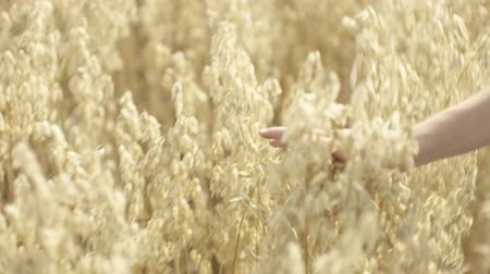 Beautiful female hand, in the field, ironing the stems of oats at the sunset Field of oats. Beautiful stems of oats crumble in the sunlight.