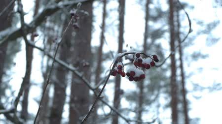 rowanberry : Rowanberry in the snow