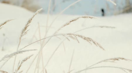 snow on grass : Spikes of frost covered in the wind Stock Footage
