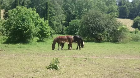 býložravý : Three horses grazing sappy grass in green lawn at a birch forest in spring