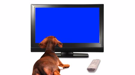 daksund : HD - Puppy is watching TV