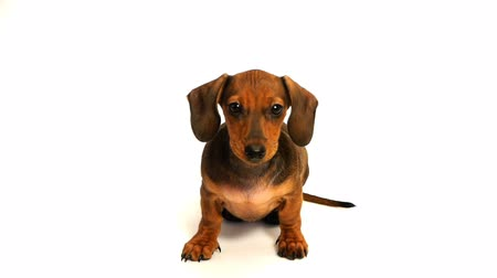 щенок : HD - Curious puppy dachshund Стоковые видеозаписи