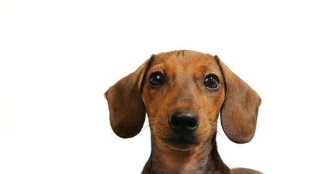 isolado no branco : HD - Dachshund. dogs head
