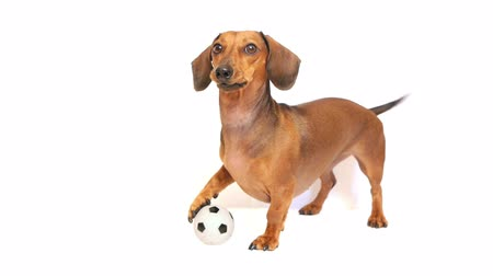 isolado no branco : HD - Dog bark with a soccer ball