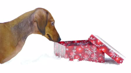daksund : HD - Dog and Christmas gift_scene 01