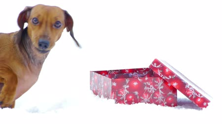 daksund : HD - Dog and Christmas gift_scene 02 Stok Video