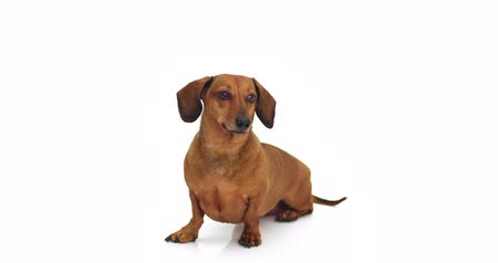 daksund : 4K - Dachshund. Dog looking at camera Stok Video