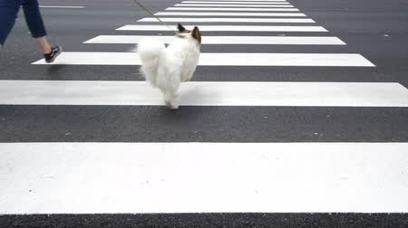 crossway : 4K - Dog with owner running along a pedestrian crossing