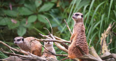 housenka : 4K - African meerkats look around surroundings